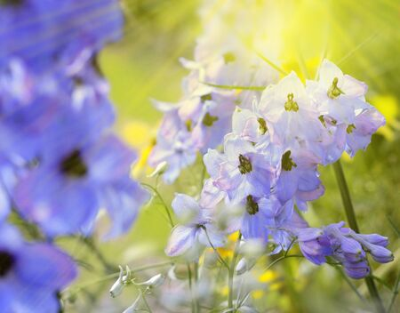 Blue delphinium flower in a garden on a bright sunny day. Nature, Beauty, Leisure, Background.
