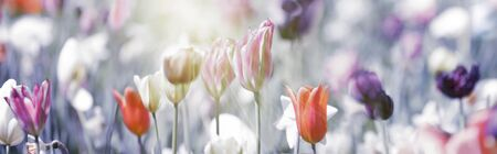 Field of pastel light orange, pink and violet tulips in warm spring sunlight on gray toned background. Close up panorama view.Nature, Beauty, Mourning, Concept.
