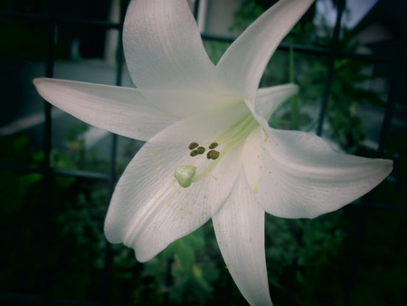 White big Lily