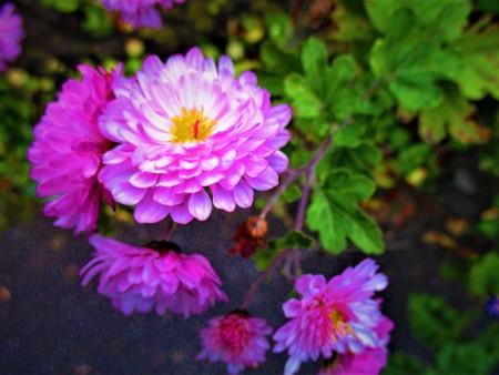 Chrysanthemum fall pink