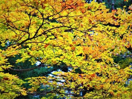 イチョウ葉の雨の日 写真素材