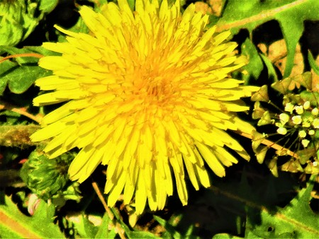 Big dandelion 写真素材 - 104577912