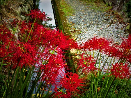 Lycoris radiata fall