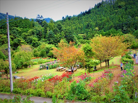 Dahlia garden and forest 写真素材
