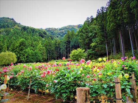 Nature and dahlia garden.