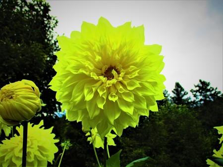 Yellow dahlia 写真素材