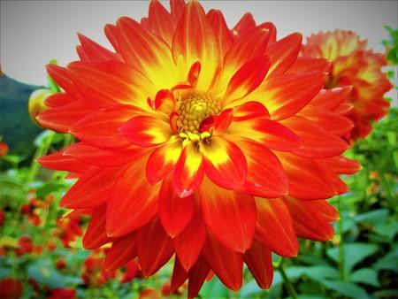 Orange and yellow dahlia 写真素材 - 118398456
