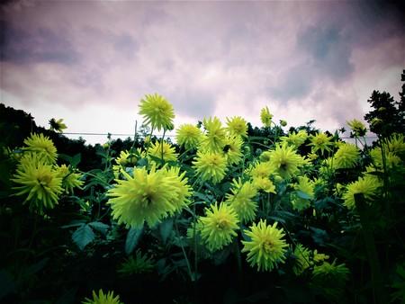 Your flower garden yellow dahlia