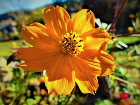 Orange Cosmos close up 写真素材