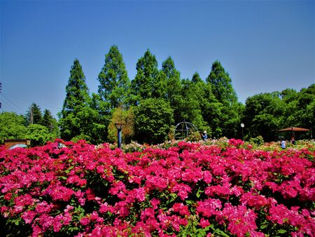 The world of pink roses
