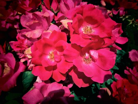 Glowing Red Roses