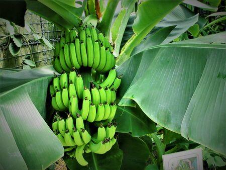 Banana tree 写真素材