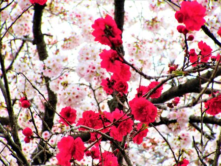 Cherry blossoms and peach blossoms 写真素材