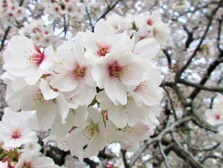 Sakura pink 写真素材
