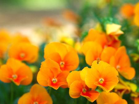 This is a poppy orange. photo