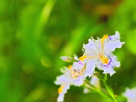 purples: This is the flower of fringed iris. Stock Photo