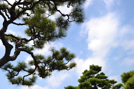 青い空の上の松の木 写真素材
