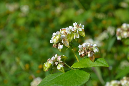 white flower of buckwheat field photo