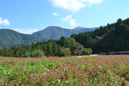 buckwheat field colored red and mountain photo