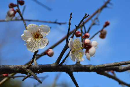 ume: ume tree colored white and blue sky Stock Photo