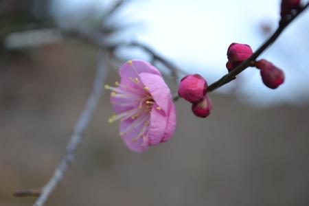 ピンク色の梅の木の多くの芽