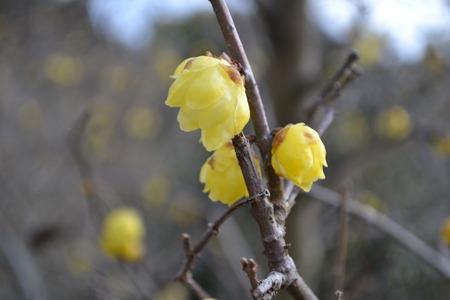 ロウバイは冬に黄色 写真素材