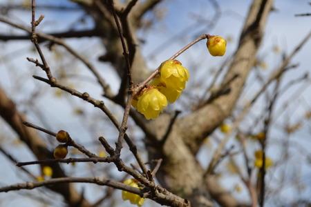 黄色のロウバイ