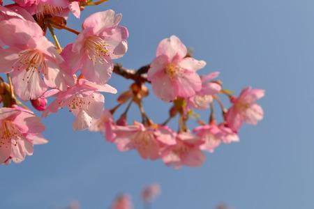 ピンク色のサクラ lannesiana 写真素材