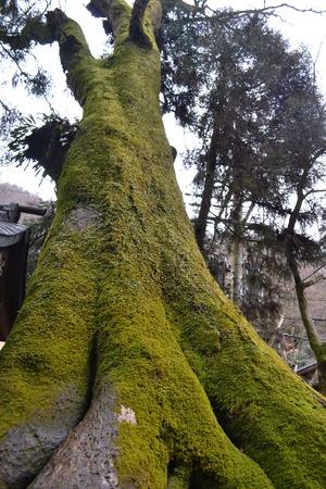 緑の苔で覆われている大きな木 写真素材