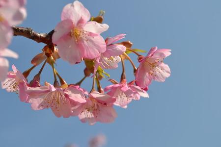 空上のピンク色のサクラ lannesiana