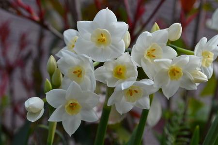 春の水仙の多く