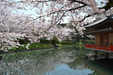 池の桜と赤寺