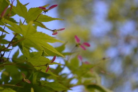 日本のカエデの新鮮な葉色の緑とピンク