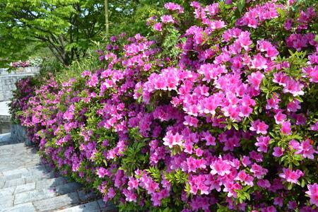 公園のツツジの花の多く