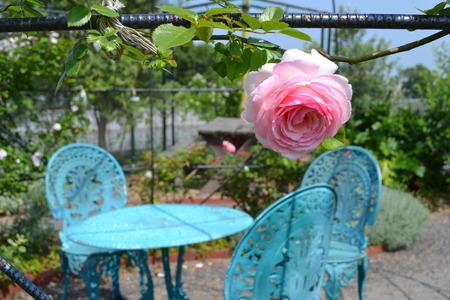 ピンクのバラとバラ園のベンチ