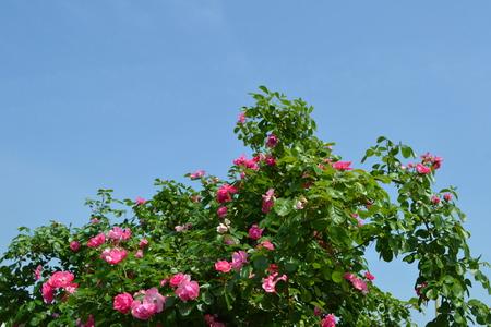 上空でバラの色ピンク
