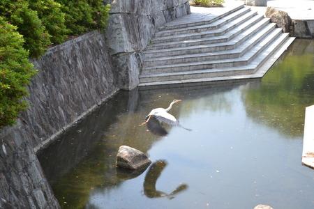 スペースの水まきに飛んで白鷺 写真素材