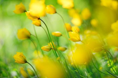 Woodland tulips, beautiful wild tulips.