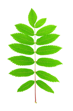 Rowan (Sorbus aucuparia) leaf isolated on white background.