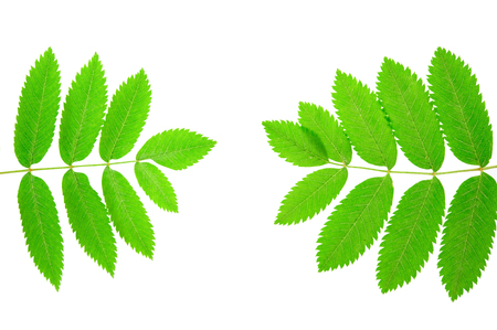 Rowan (Sorbus aucuparia) leaves isolated on white background.