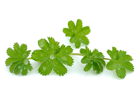 Lady's mantle leaves on white background
