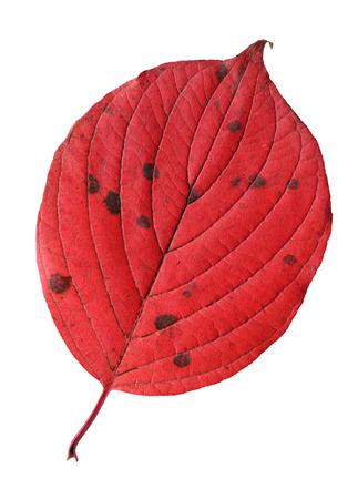 Autumn siberian dogwood leaf on white background