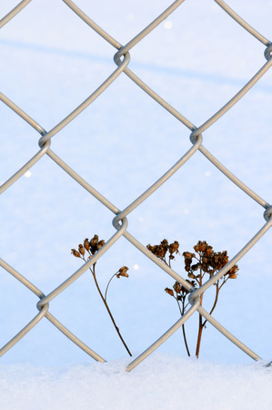 Dried plant beside chain link fence in snow.