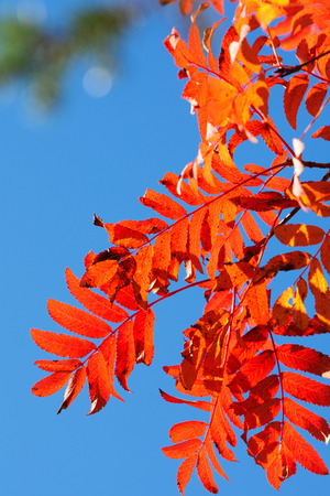 Rowan tree (Sorbus aucuparia) leaves in autumn colors. Stock Photo