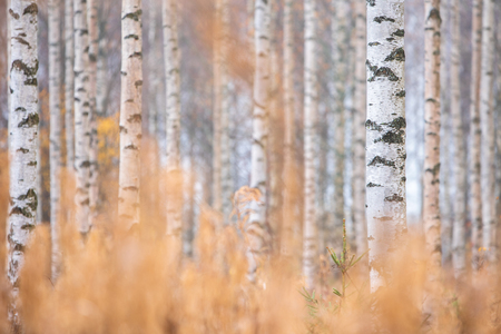 Birch (Betula pendula) tree trunks in autumn forest. 免版税图像