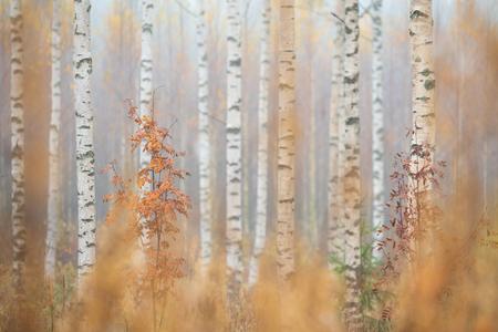 Birch (Betula pendula) tree trunks in autumn forest