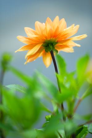 Dahlia in flower bed. Soft focus image shallow depth of field. Zdjęcie Seryjne