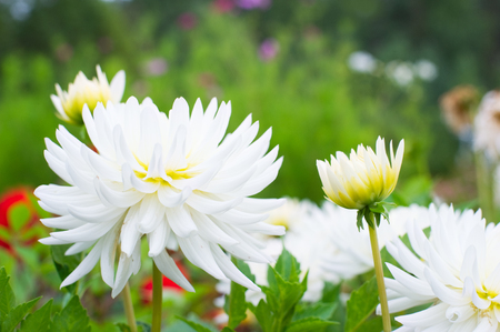 Dahlias in flower bed. Soft focus image shallow depth of field. Zdjęcie Seryjne