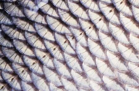 Fish (Ide, Leuciscus idus) scale close-up. The row of lateral line scales is visible in the middle of the image. Image appears a bit soft due to the epidermal mucus covering the scales. Banco de Imagens