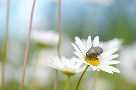 Flower Beetle (Potosia cuprea) on oxeye daisy